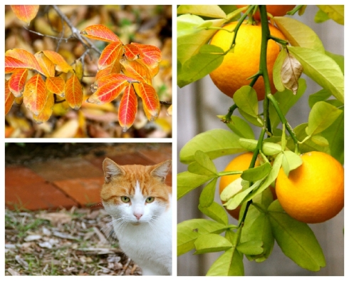 Orange leaves, cumquats and ginger cat