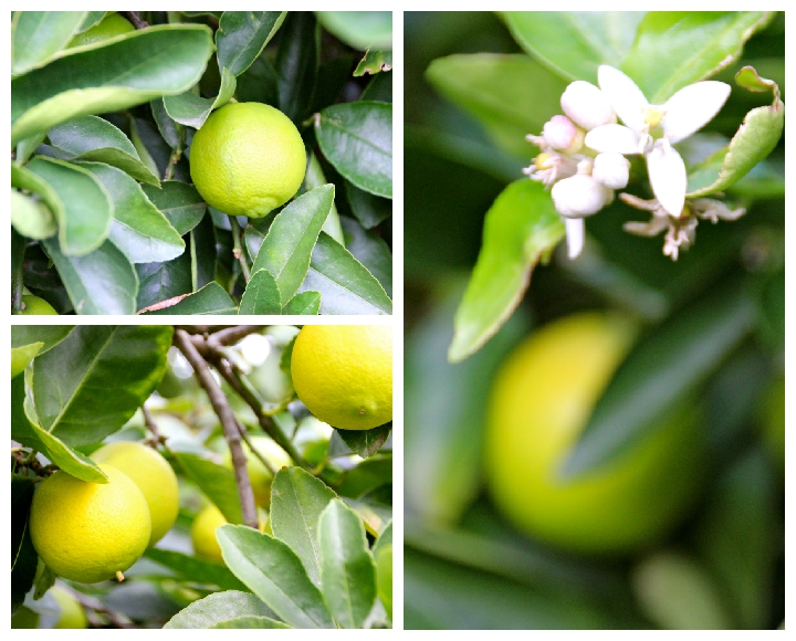 Limes and blossom