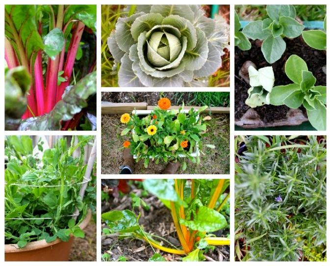 Veggies in my garden